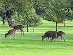 Deers4